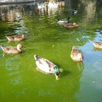 Утки в пруду. :: Victoria
