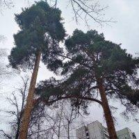 Сосны в городе :: Марина Кушнарева