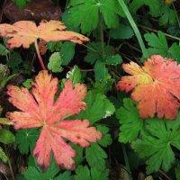 Осенние краски герани :: sm-lydmila Смородинская