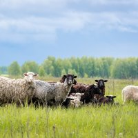 Овцы :: Alex Bush