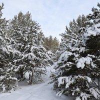 Зимой в походе по снежному сосновому лесу,это марафон каждый день... :: Андрей Хлопонин