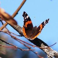 осенние бабочки 13 :: Александр Прокудин
