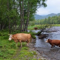 Коровы переходят речку :: Галина