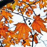 Ажурные листья платана :: Ольга (crim41evp)