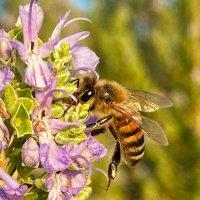 Пчела на розмарине :: Александр Деревяшкин