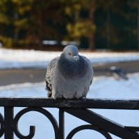 Голубь сизокрылый присел на перила :: Алексей
