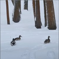 Утки на снегу :: dana smirnova