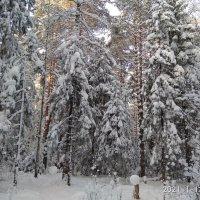 Сосны великаны в зимних одеждах... :: Алена