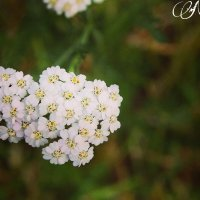 Цветы - природа :: Faina Popova