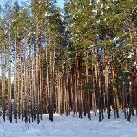 В сосновом лесу :: Натала ***