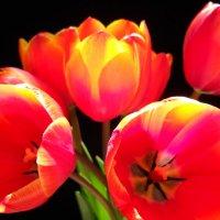 Тюльпаны :: Victoria