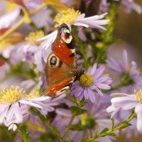 октябрьские бабочки  7 :: Александр Прокудин