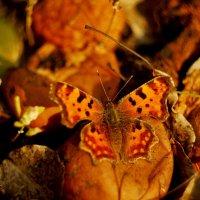 октябрьские бабочки  9 :: Александр Прокудин