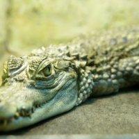 Крокодил. :: Nastya Ishimova