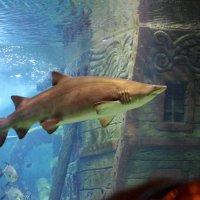 Акула :: Сергей Клопов