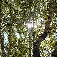 Сквозь листву берез :: Анастасия Гапанюк (начинающий фотограф)
