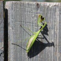Mantis :: Роман Комина