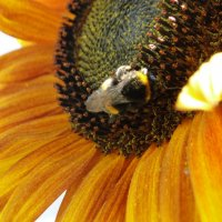 Сборка нектара :: Gulshat Fatyhova