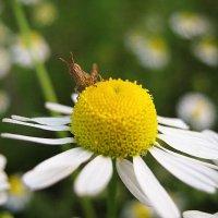 В траве сидел кузнечик... :: ольга хадыкина