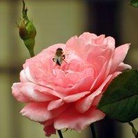 Пчела :: Игорь Мукалов