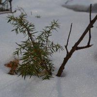 зеленые листочки сквозь снег :: Виктория Котлярчук