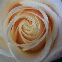 Чайная роза :: Анастасия Гапанюк (начинающий фотограф)