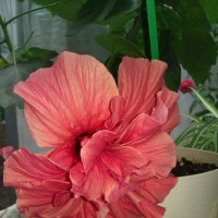 цветок гибискуса(китайская роза) :: Елена Горбова