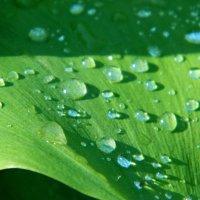 После дождя лист ландыша. :: Руслан Хайдаров