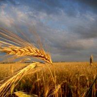 пшеница :: Алина Гриб