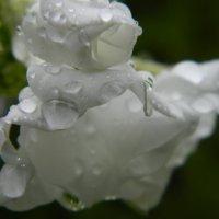 Капельки дождя :: Натали V