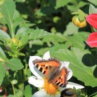 бабочка :: ольга Ильина