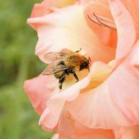 Пчелка :: Анастасия Должикова