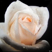 домашняя роза :: Valeri Pavlenok