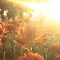 Солнечные тюльпаны :: Татьяна Морозова
