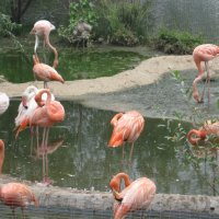 Фламинго. :: Ирина Березкина