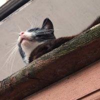 просто соседская кошка :: Елена Липская
