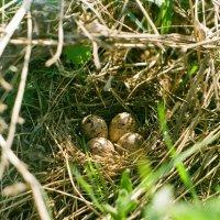 Гнездо бекаса :: Сергей Водяницкий