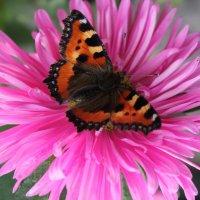 Бабочка :: Анастасия Гапанюк (начинающий фотограф)