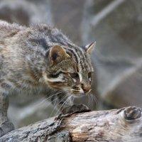 Дальневосточный лесной кот :: Irina ----