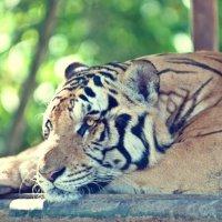 Задумчивый тигр... :: Евгений Ступак