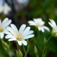 Цветы :: Руслан Хайдаров