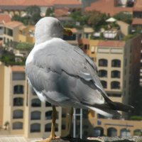 Козырная чайка :: Юля Тимошенко