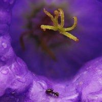 Муравей ранним утром в цветке колокольчика. :: Оксана ДоброВольская