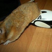 Хома с мышкой :: Анастасия Гапанюк (начинающий фотограф)
