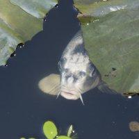 рыба попрошайка :: Katerina Tighineanu