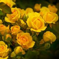 Желтые розы :: Ирина Рассветная