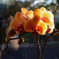 орхидея :: Leha F