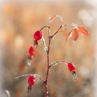 Колючий,но красивый :: Денис Антонов