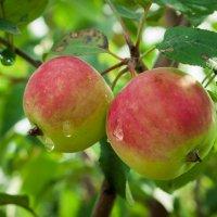 Райские яблочки :: Дмитрий Ценгуев