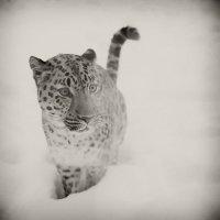 Snow Leopard :: Elena Kuznetsova